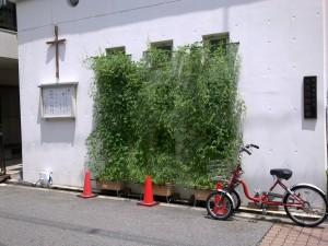 今年も教会の前でフウセンカズラを育てています。